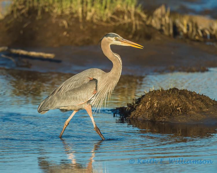 Great Blue Heron, Fir Island