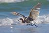 Reddish egret chasing fish