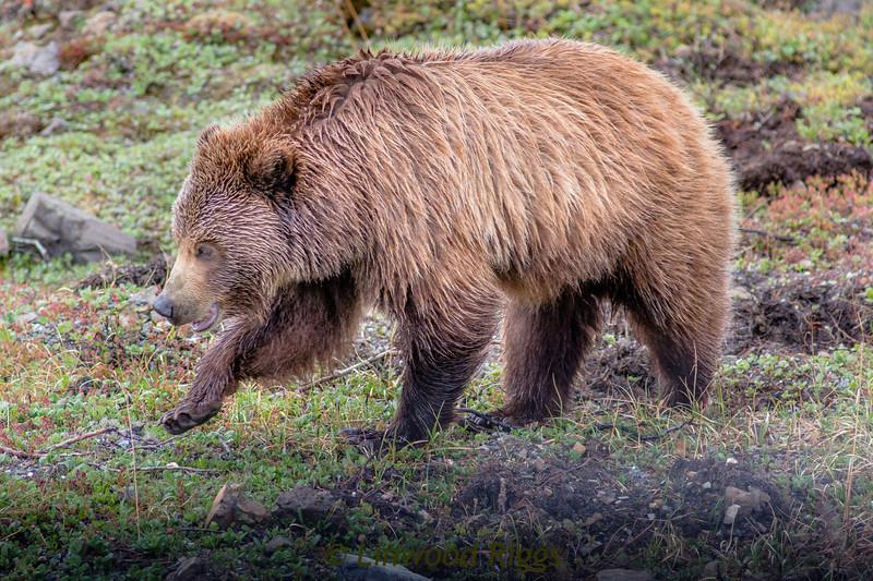 Grizzly bear in Denali National Park, Alaska.