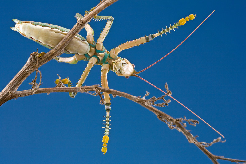 Giant predatory katydid (Clonia melanoptera) from South Africa