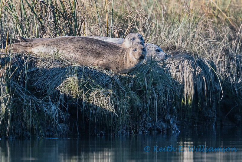 Seals, Skagit Wildlife Area - 2