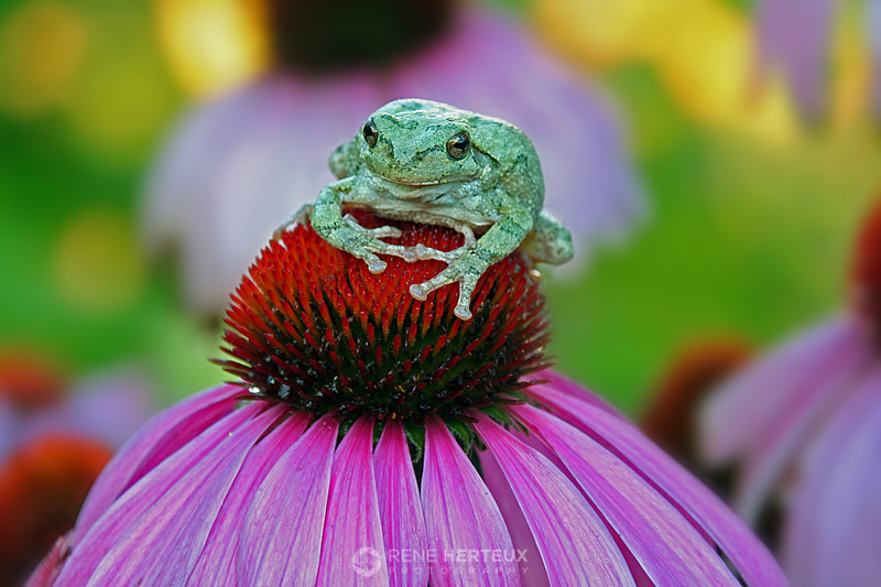 Tree frog on coneflower, Shakopee MN