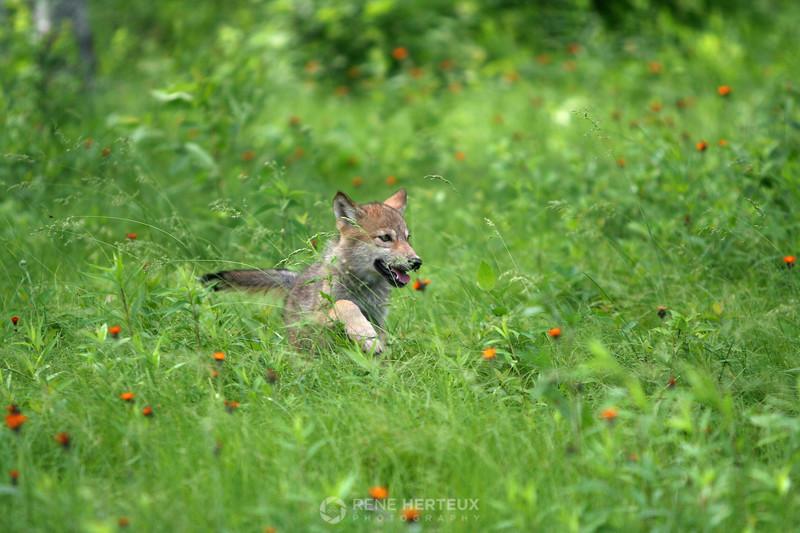 Baby wolf, northern MN