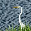 DSC_0013 Marsh Egret