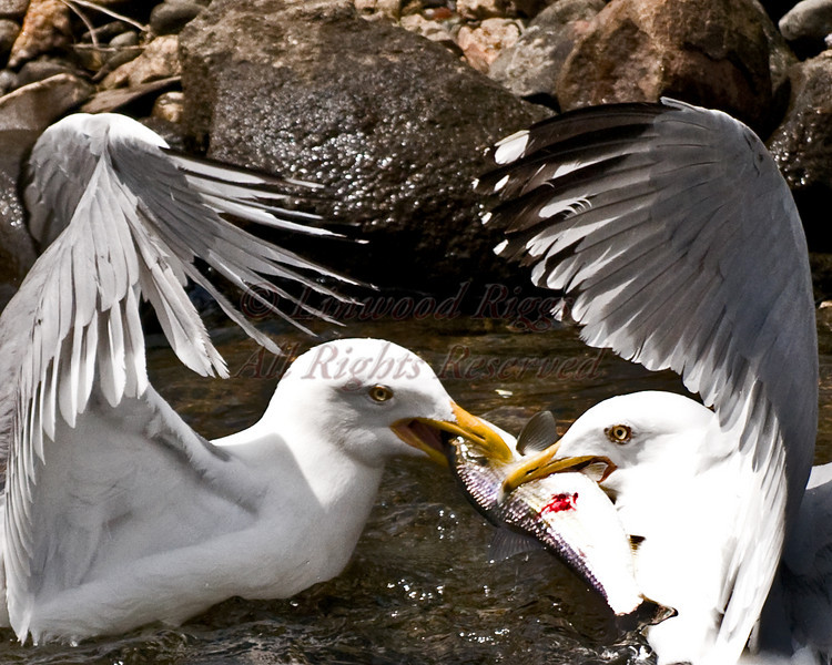 Even when thousands of alewives clog the stream from bank to bank in Damariscotta Mills, Maine, the gulls much prefer to fight over them instead of catching their own.