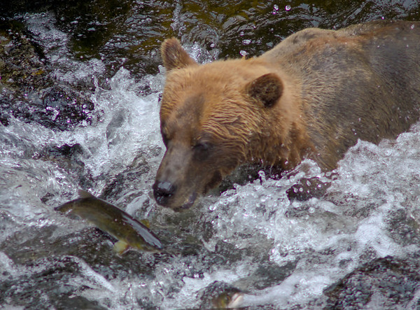 Grizzly bear fishing for salmon, Anan Creek, Alaska, #0394