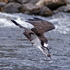 An Osprey dives into the Mill Stream during the annual alewife run at Damariscotta Mills, Maine - May 2009