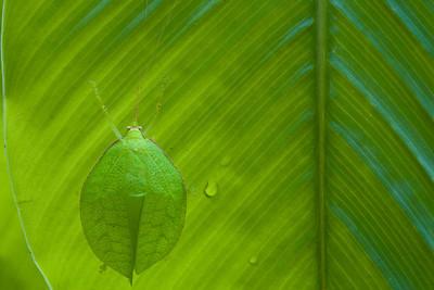 Sylvan katydid (Mustius afzelii) from Ghana