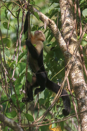 Monkey Climbing Up a Tree