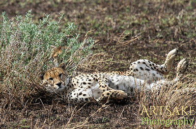 Very Relaxed Cheetah