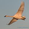 Trumpeter Swan - 21