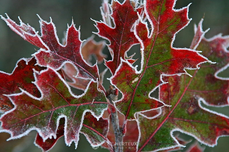 Frosty leaves, Shakopee MN
