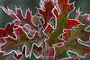 Frosty leaves, Shakopee MN