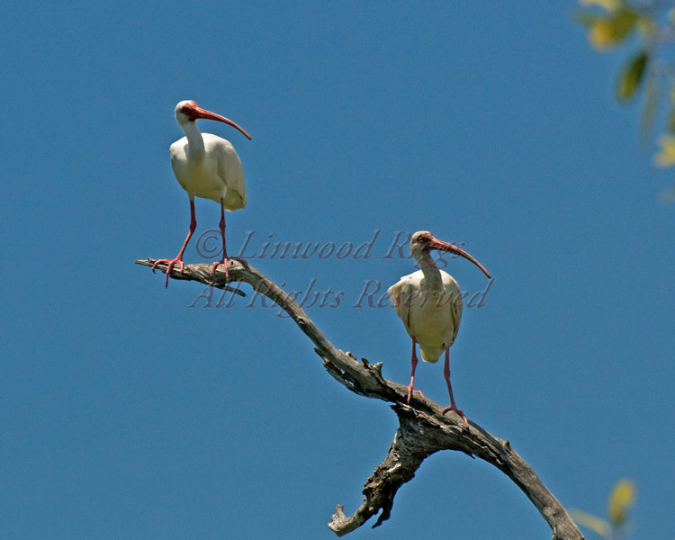 Two Ibises perch on a branch along an Everglades waterway in Florida.