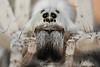 Wolf spider close up