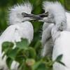 DSC_0060 Egrets 2