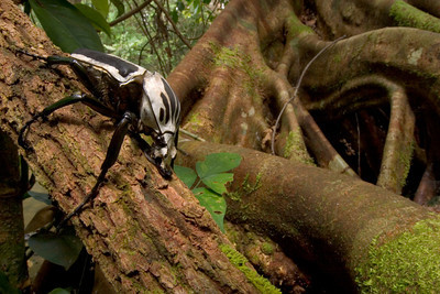 Goliath beetle (Goliathus regius) from Guinea, one of the largest beetles in the world