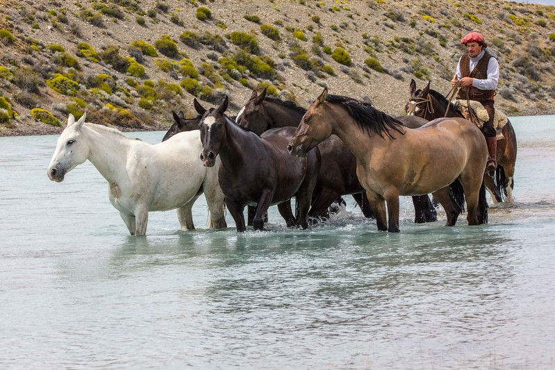Gaucho helping horses ford a glacial river in Patagonia