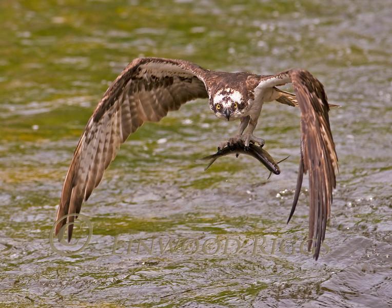 Osprey with catch at Damariscotta Mills, Maine - May 2010