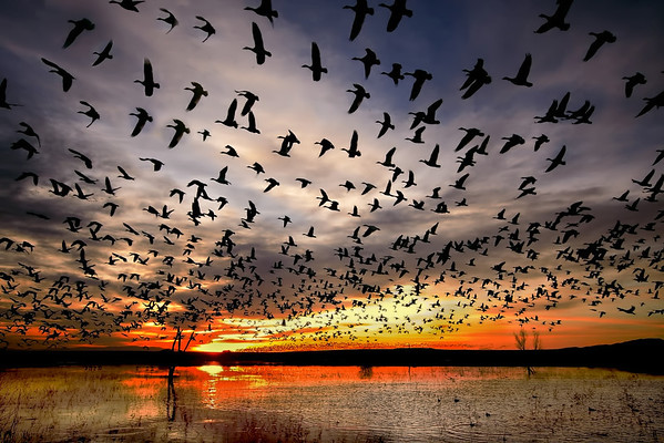 Bosque del Apache, Socorro, snow geese simultaneously liftoff at dawn from the ponds; #0004