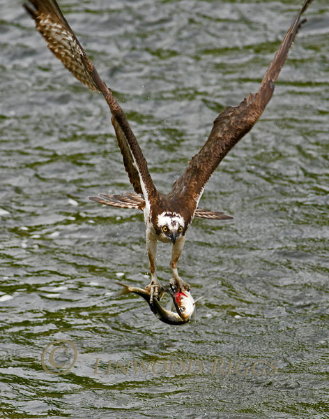 Osprey with catch at Damariscotta Mills, Maine - May 2010