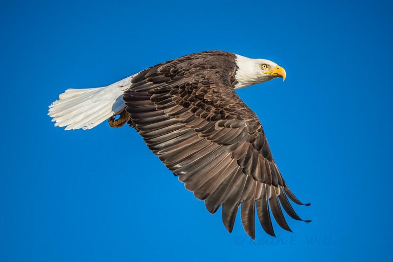 Bald Eagle, Fir Island