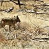 Coyote-003