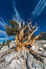 Bristlecone Pine, Patriarch Grove, White Mountains.  This tree is likely over 4,000 years old.