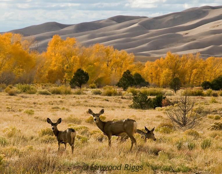 Mule deer in Great Sand Dunes NP, Colorado