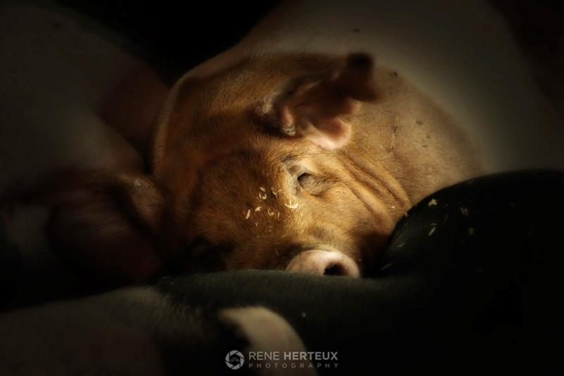 Pig dreams, St Paul MN