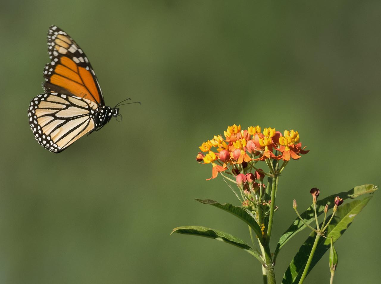 Monarch + Milkweed