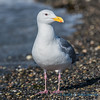 Western Gull, Kukutali Preserve