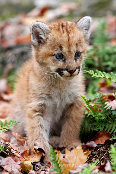 Mountain lion baby