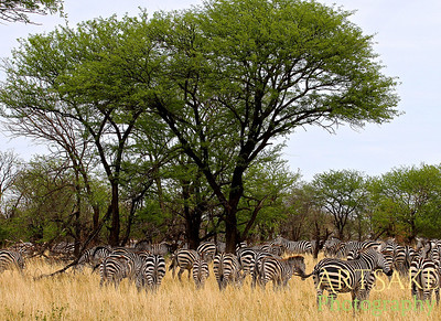 A Herd of Zebras under the Acacia Trees