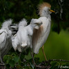 DSC_0026 Cattle Egret Post