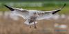 Snow Goose, landing - 2