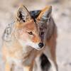 Schabrackenschakal, Canis mesomelas, Black-backed Jackal, Etosha National Park, Namibia