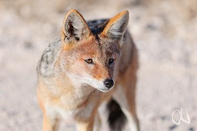 Black-backed Jackal, Schabrackenschakal, Canis mesomelas, Etosha National Park, Namibia