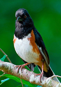 Eastern Towhee (male), Raleigh, NC, May 2013