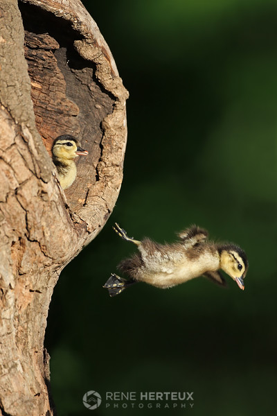Leaping wood duck