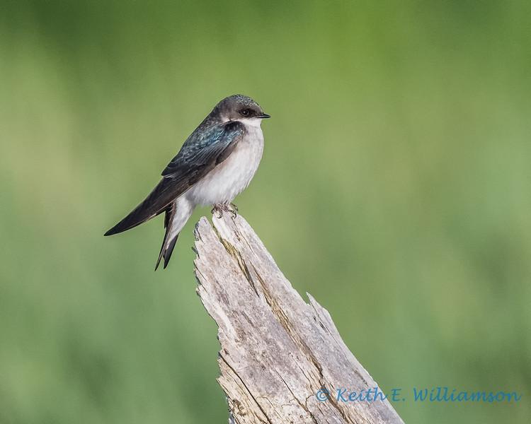 Female tree swallow, Fir Island