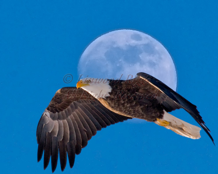 Bald Eagle and full moon. (photomontage)