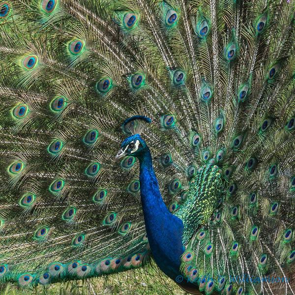 Peacock, Olympic Game Farm, Sequim, Washington