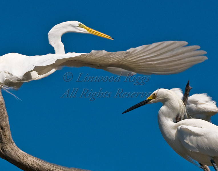 Two egrets perch on a tree in the Florida Keys.
