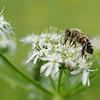 Honigbiene trinkt Nektar an einer Blüte des Wiesen-Bärenklaus, Honigbiene, Honey bee, (Apis mellifera), (Heracleum sphondylium), Wiese, Galgenberg, Tübingen, Deutschland, Germany