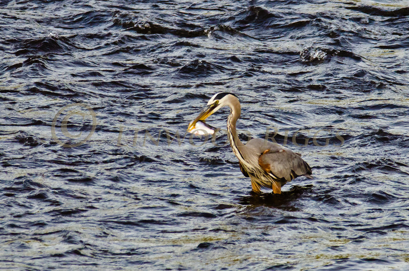 Great Blue Heron spears a fish in the Kennebec River