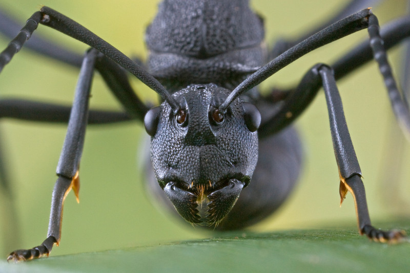 A queen of the armored ant (Polyrchahis armata) in a defensive posture.
