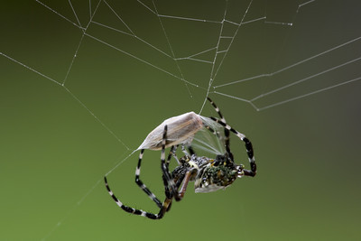 Tiger spider (Argiope savignyi) from Costa Rica with a freshly caught beetle