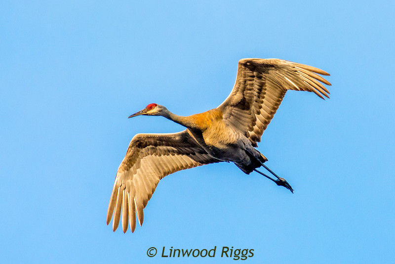 A Sandhill Crane flies over Messalonskee Lake in Belgrade, Maine.