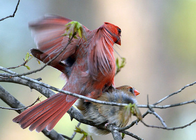 Mating Cardinals